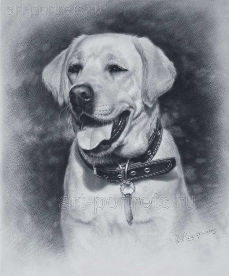 Labrador drawings labrador retriever drawings
